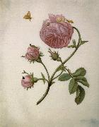 Bush Rose with Leafminer Moth,Larva,and Pupa Maria Sibylla Merian
