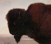 Buffalo Head Albert Bierstadt