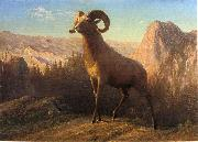 A Rocky Mountain Sheep, Ovis, Montana Albert Bierstadt