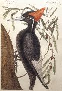 Largest White Billed Woodpecker Catesby Mark